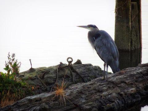 Heron. Brent Pruitt, photograph, 2012